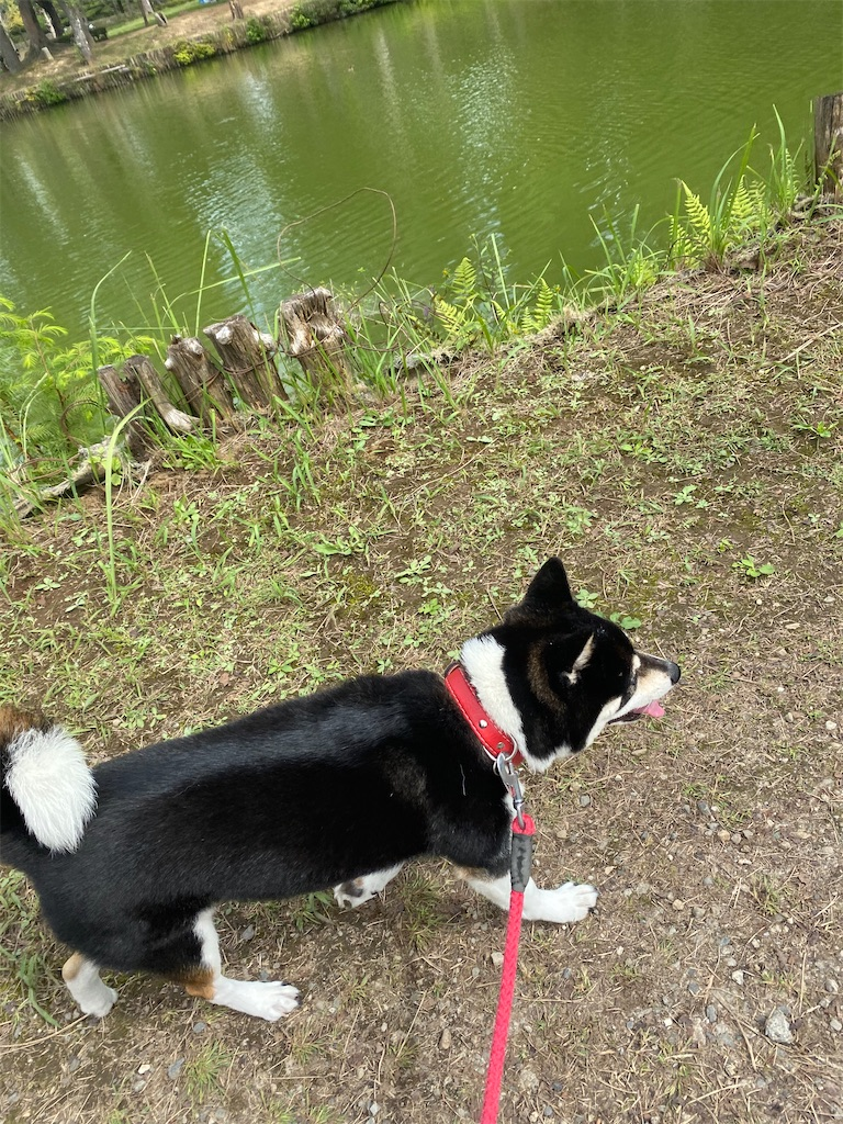 池に沿って歩いている黒柴犬