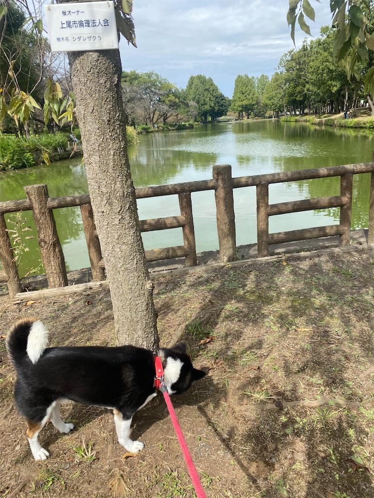 池の前で草の匂いを嗅いでいる黒柴犬