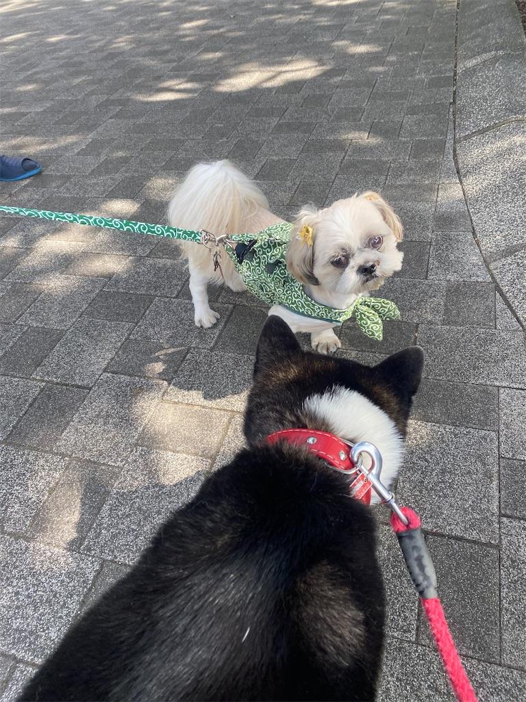 シーズー犬と黒柴犬が鼻先をくっつけようとしている。