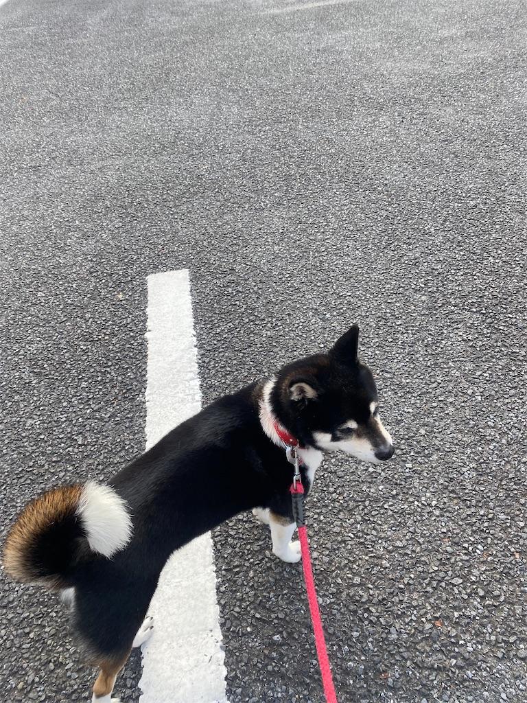 駐車場で立ったまま動かない黒柴犬