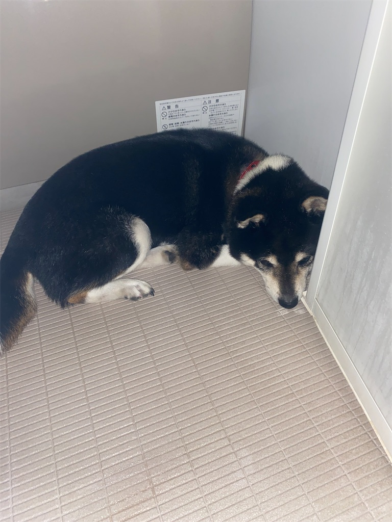 お風呂場で横になっている黒柴犬