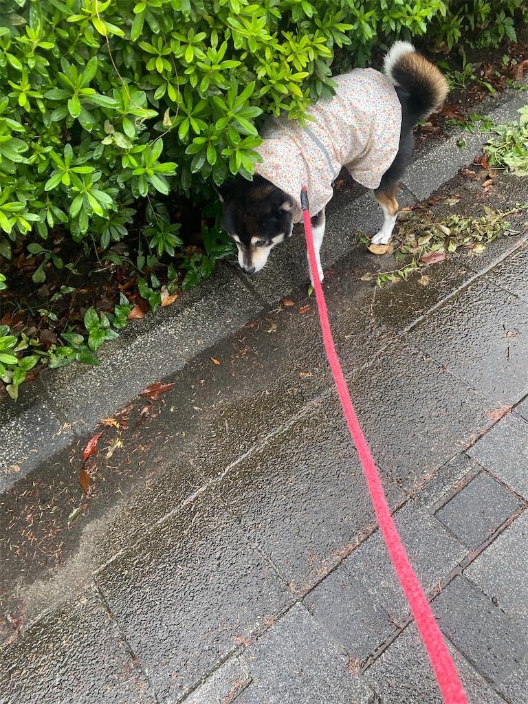 カッパを着た黒柴犬が草むらに沿って歩いている