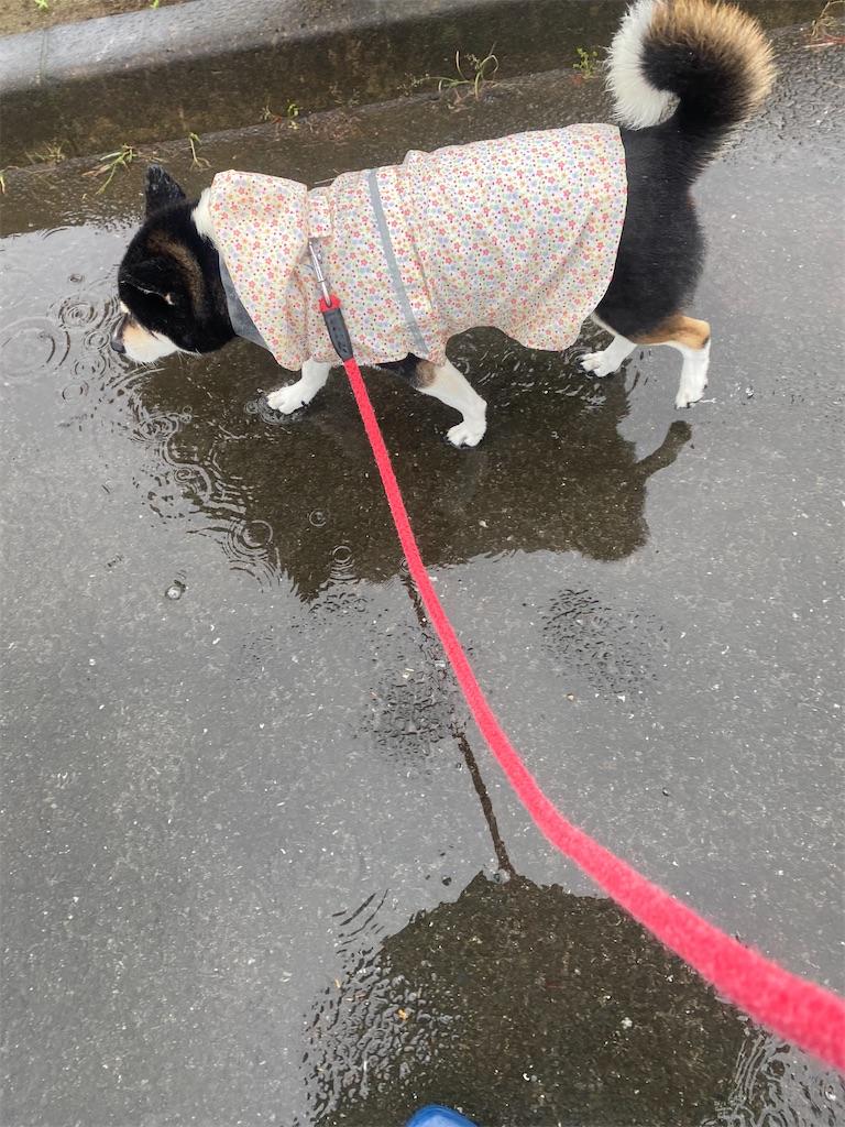 雨の中カッパを着て散歩中の黒柴犬