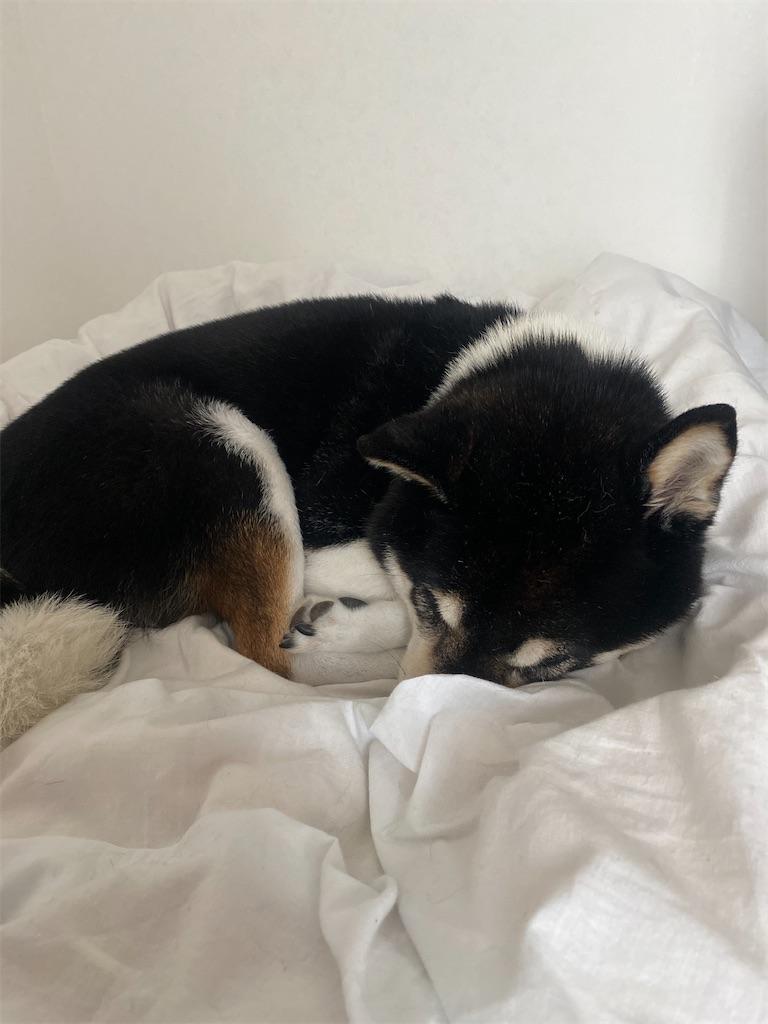 ベッドに寝ている黒柴犬