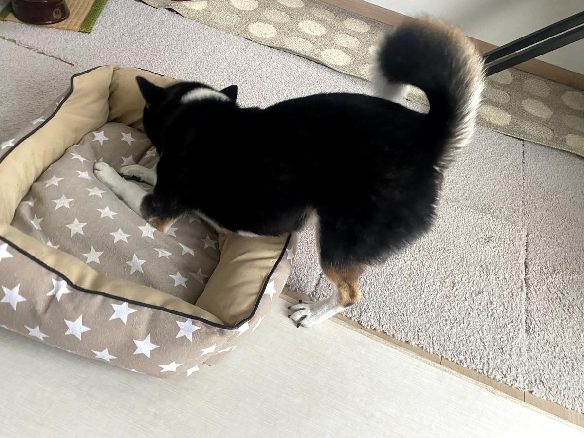 ペットベッドに噛みつく黒柴犬