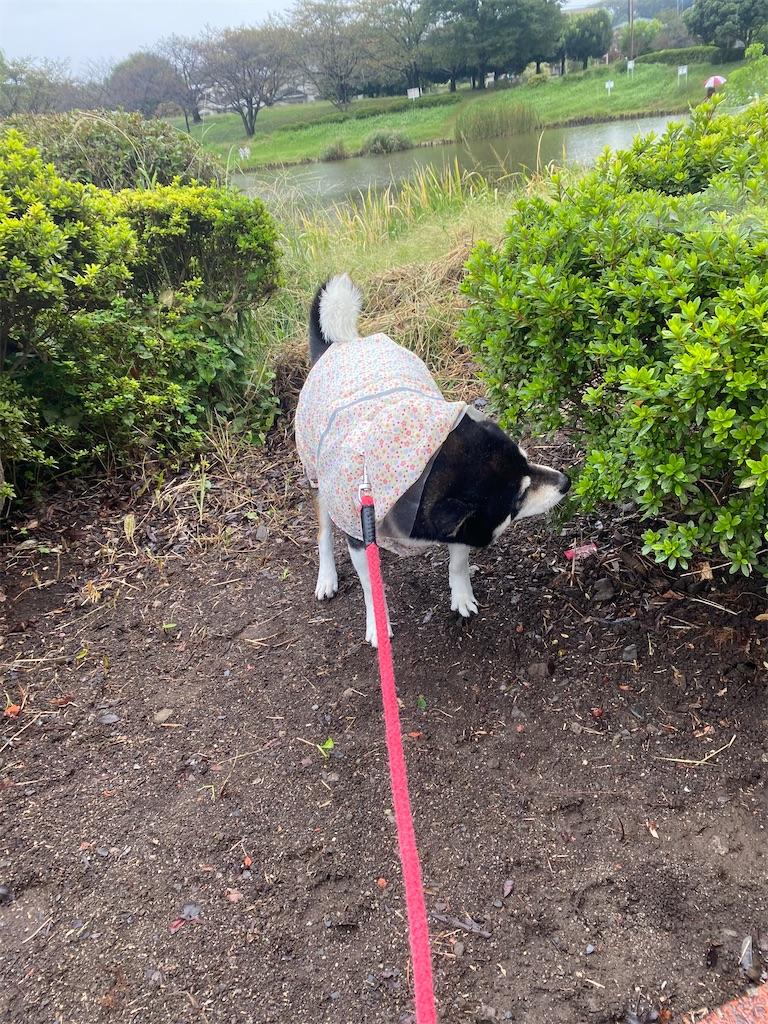 カッパを着ている黒柴犬が草むらの匂いを嗅いでいる