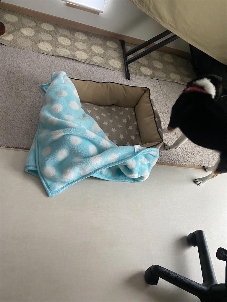 毛布をぐちゃぐちゃにしている黒柴犬