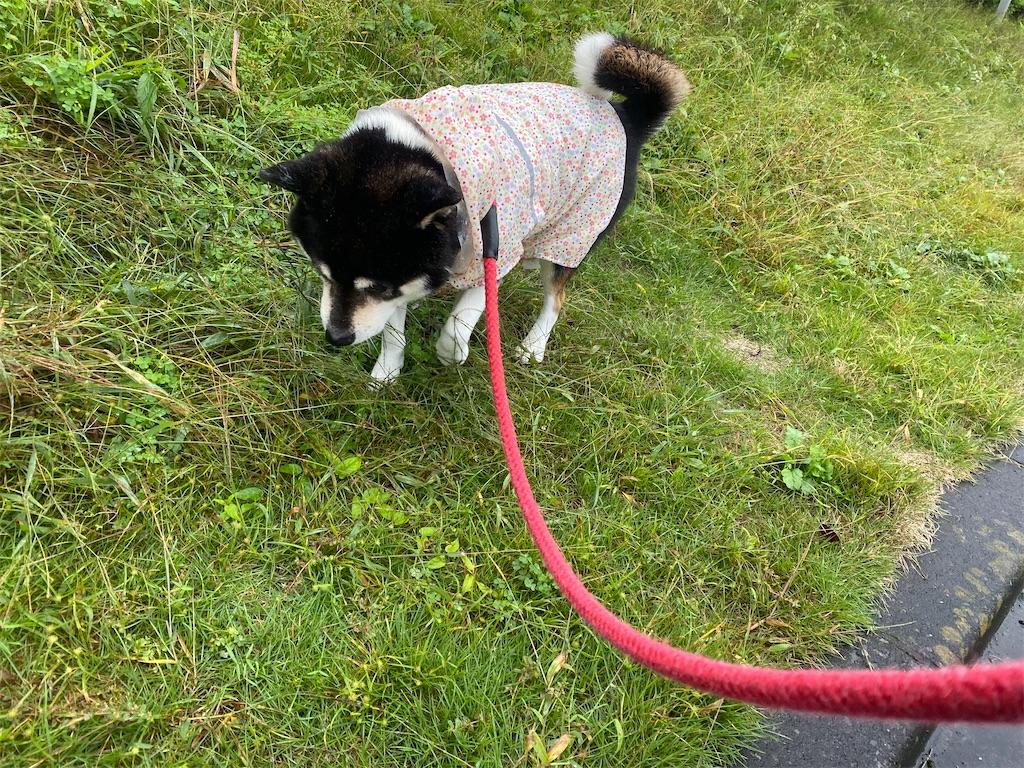 芝生の上をカッパを着て歩いている黒柴犬