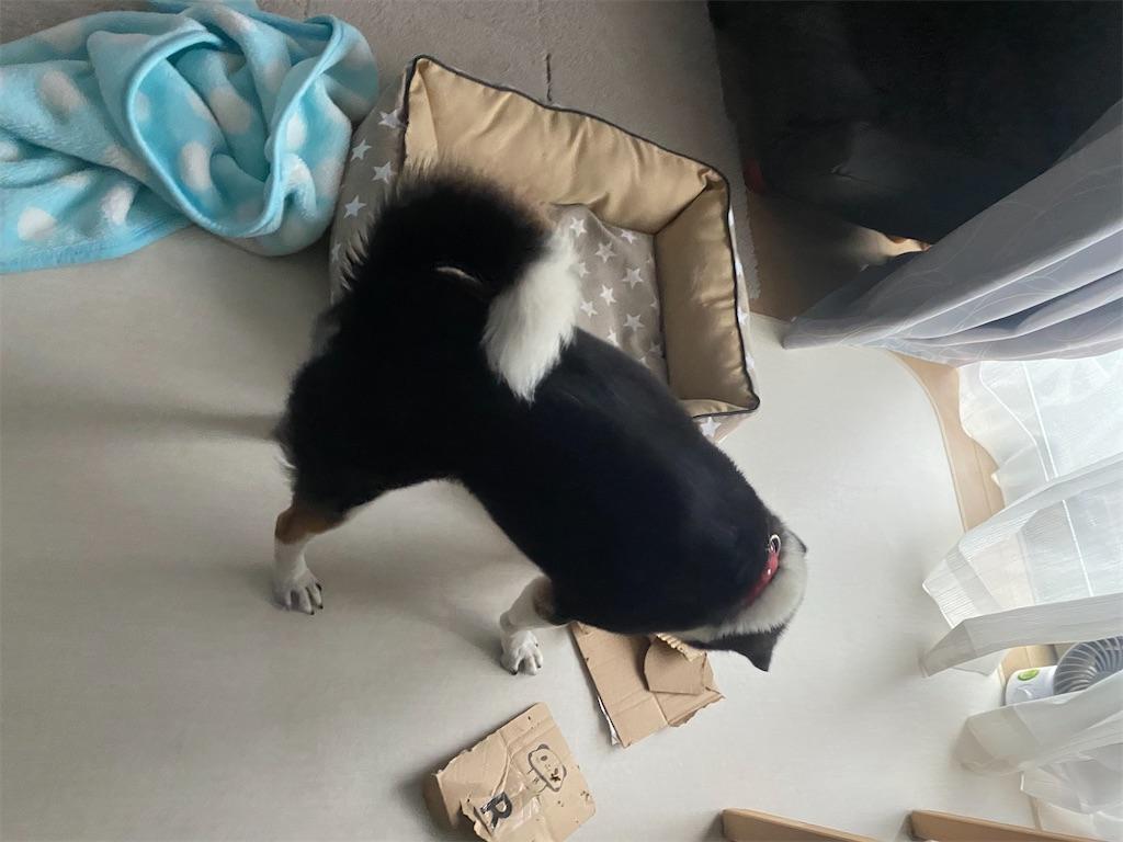 段ボールを破壊している黒柴犬