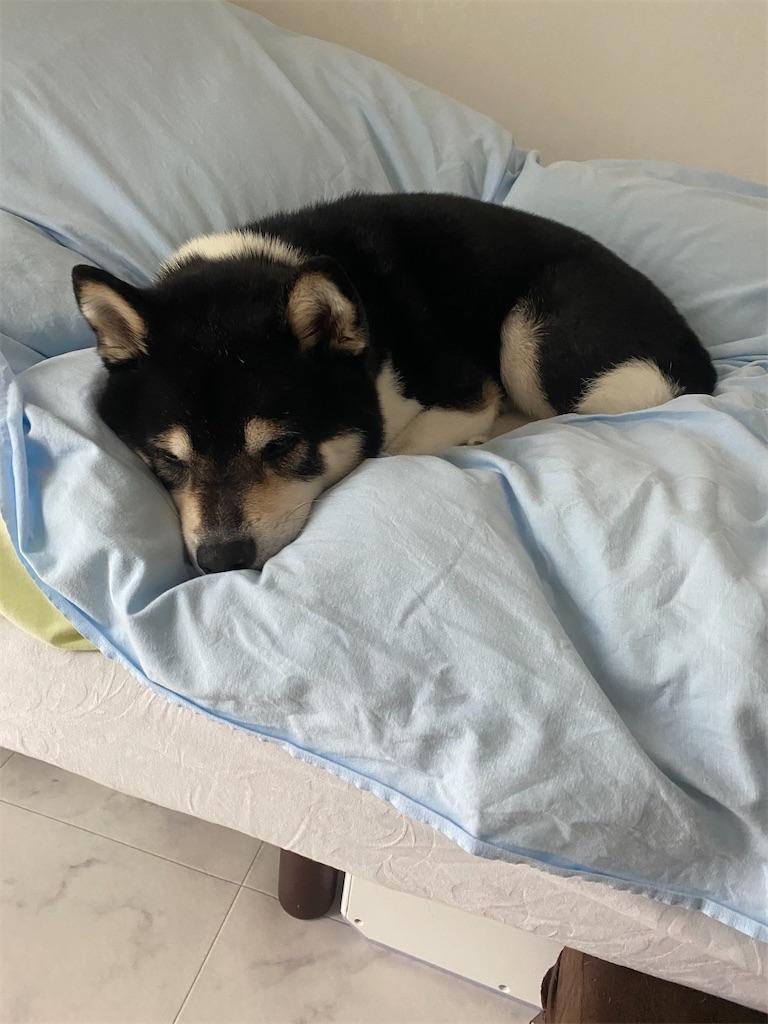ベッドで眠そうな黒柴犬