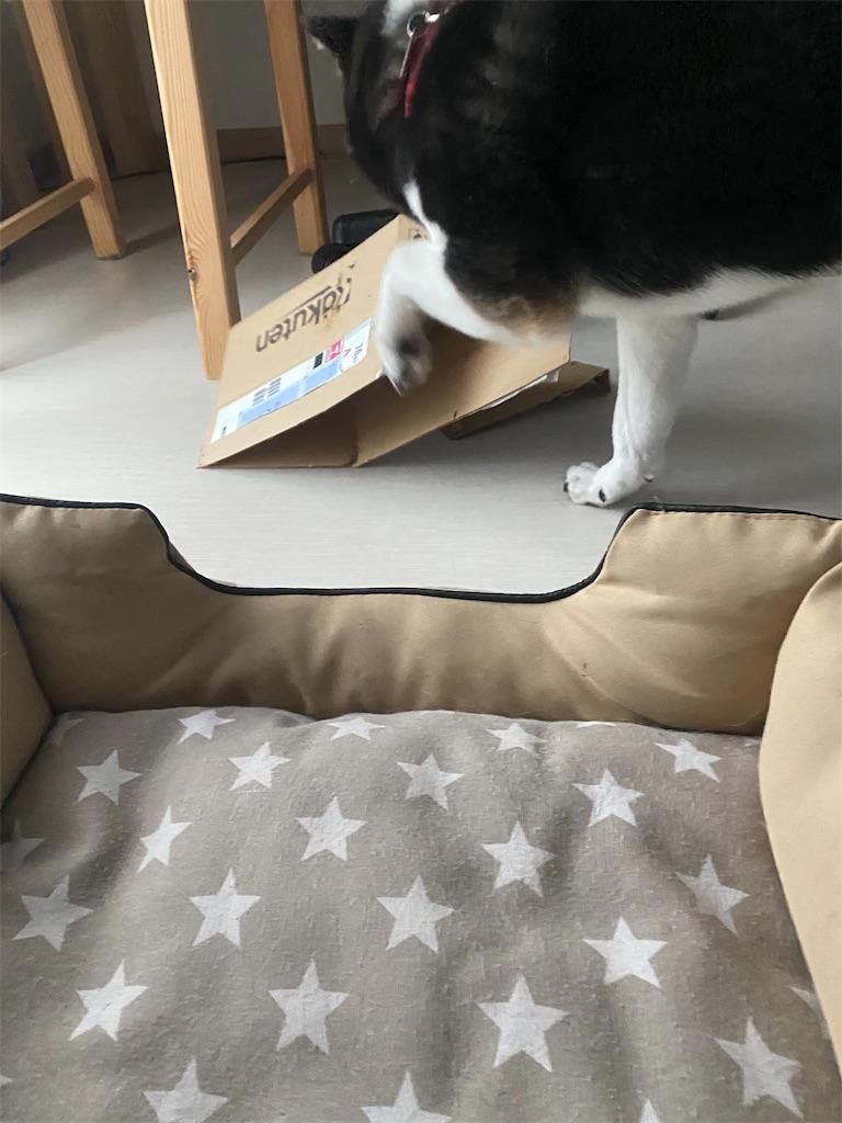 段ボールを破壊する黒柴犬