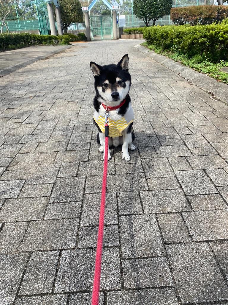 公園のメインストリートでおすわりしている黒柴犬