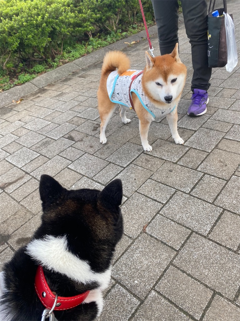 赤柴と黒柴犬が1mくらい間を空けてお互いを見ています。