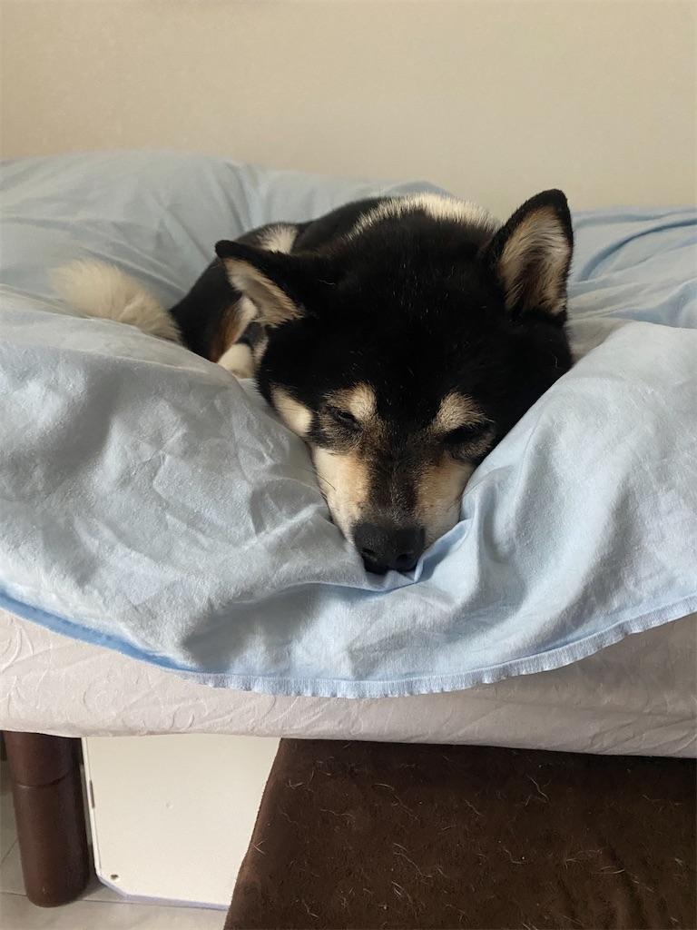 ベッドの上でお昼寝している黒柴犬