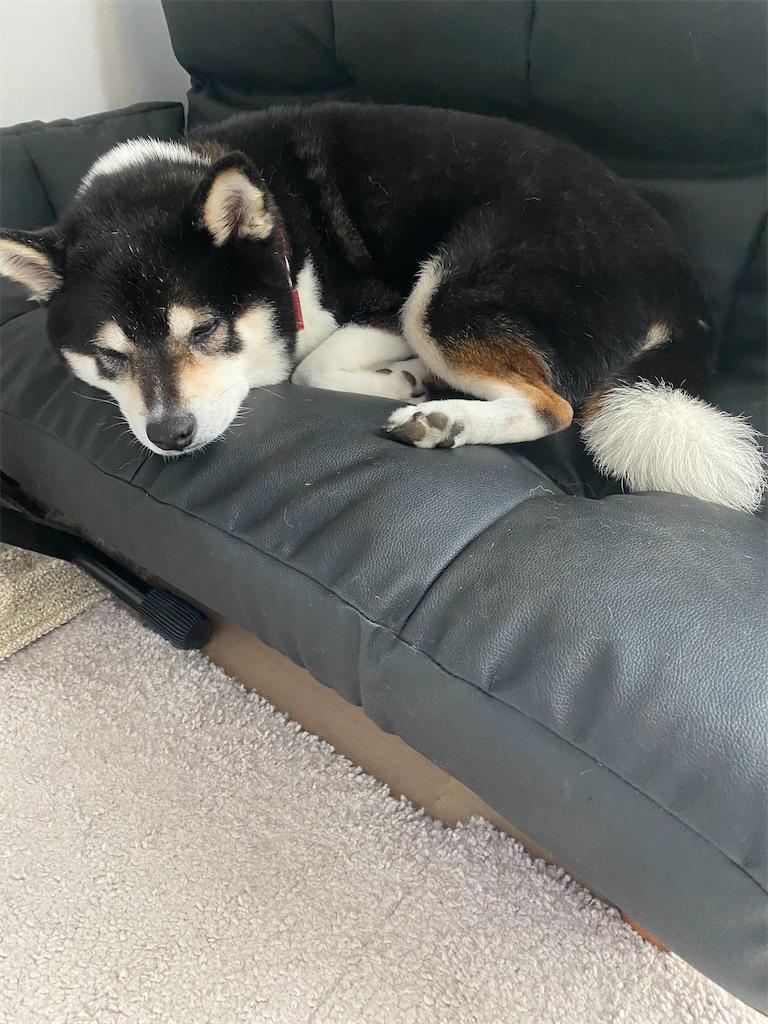 ソファで眠っている黒柴犬