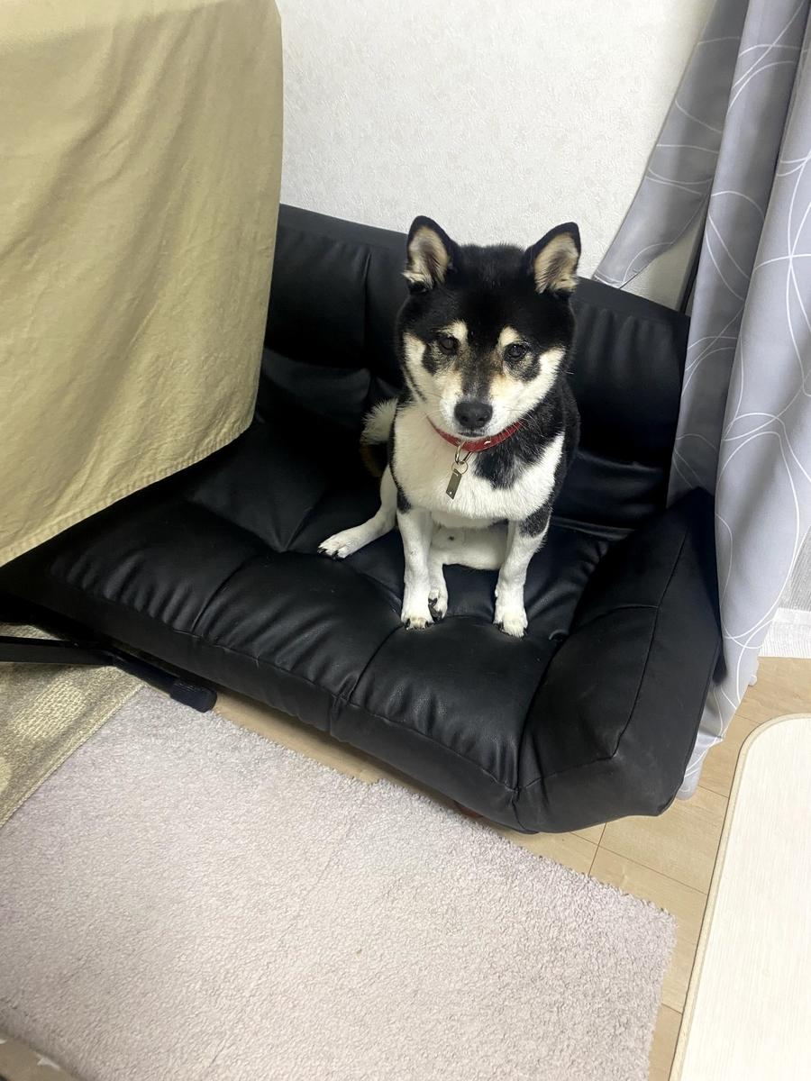 ソファの上でこっちを見ている黒柴犬