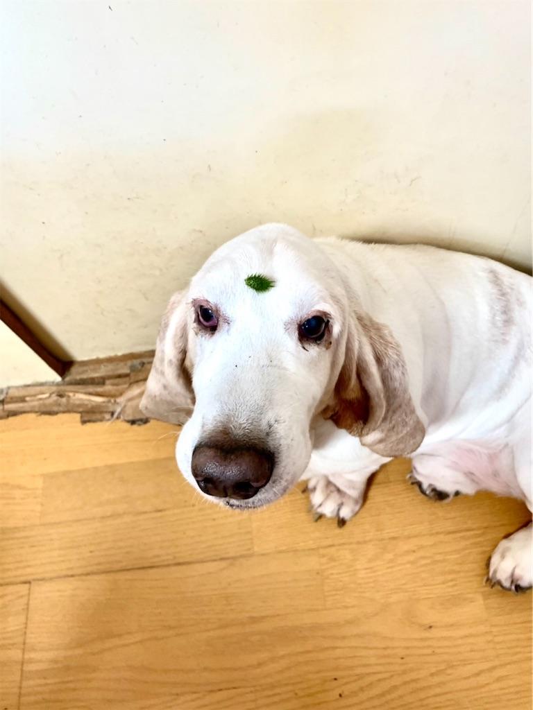 ひたいにくっつき虫を付けている、犬のバセットハウンド