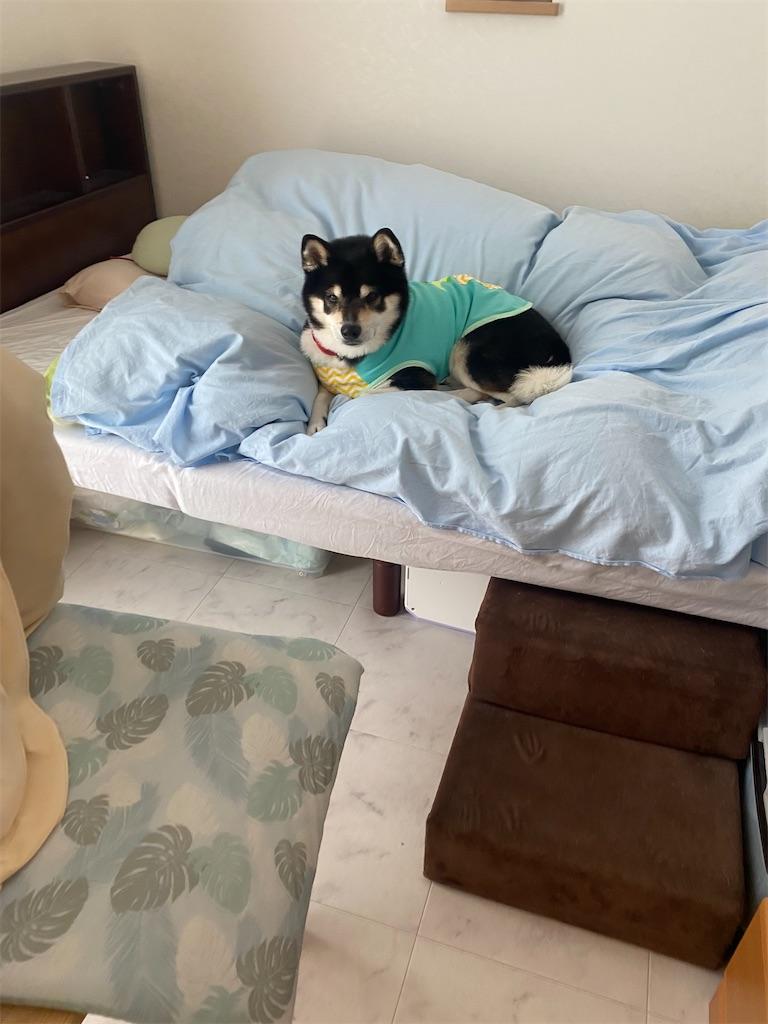 ベッドの上でくつろいでいる黒柴犬