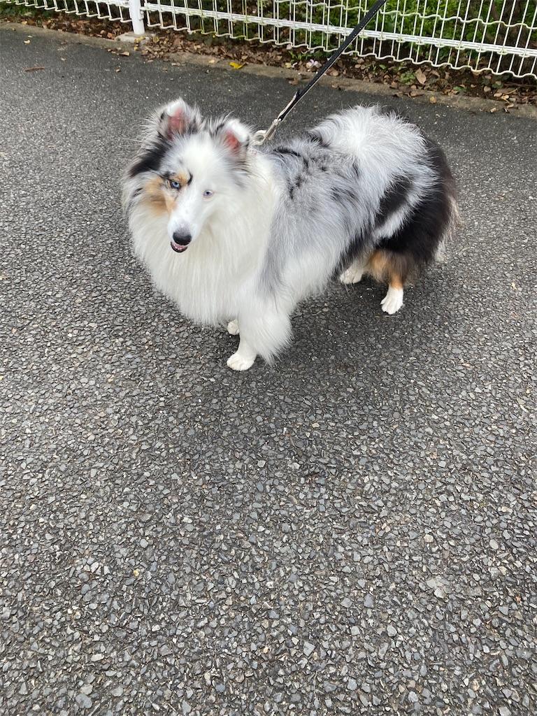 犬のシェルティー