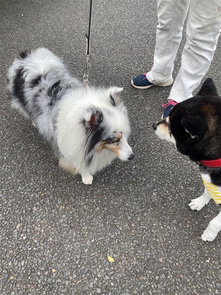 犬のシェルティー犬が手前を見ている