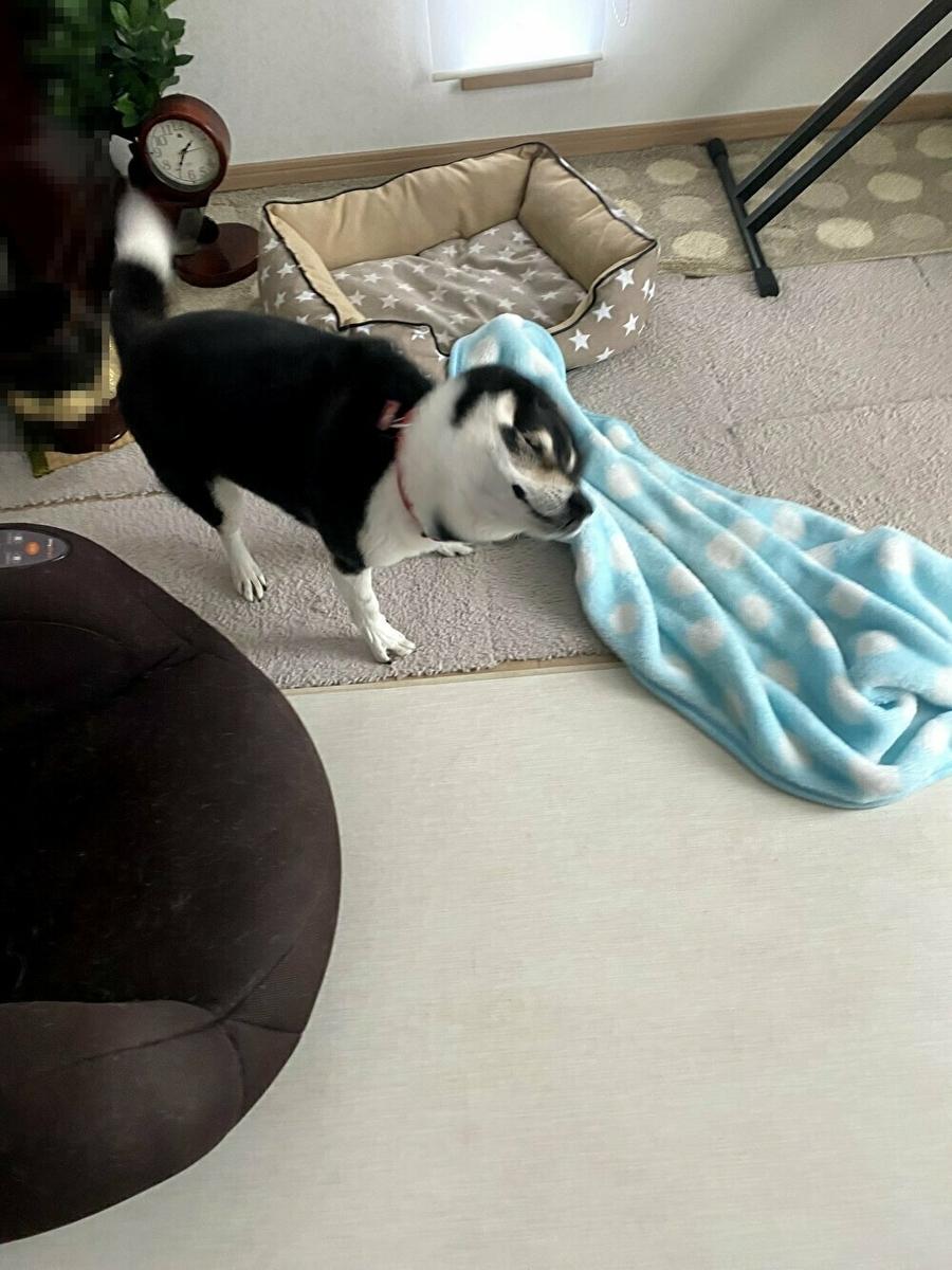 毛布を振り回している黒柴犬