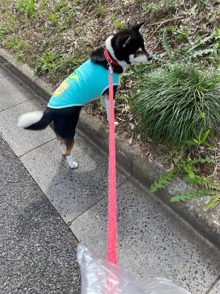 路肩から草むらに入ろうとしている黒柴犬