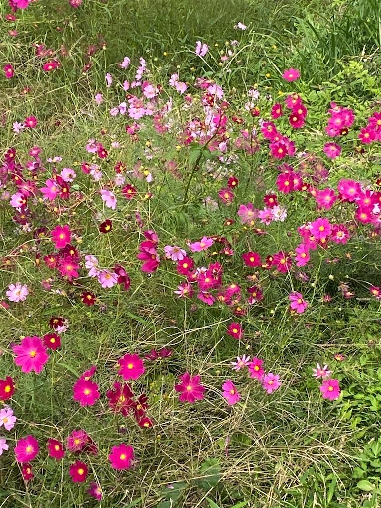 赤とピンクのコスモスが咲いている
