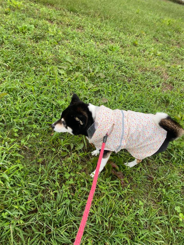 芝生を歩いている黒柴犬