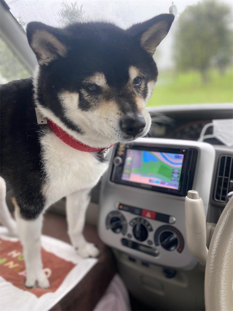 助手席で運転席の方を見ている黒柴犬