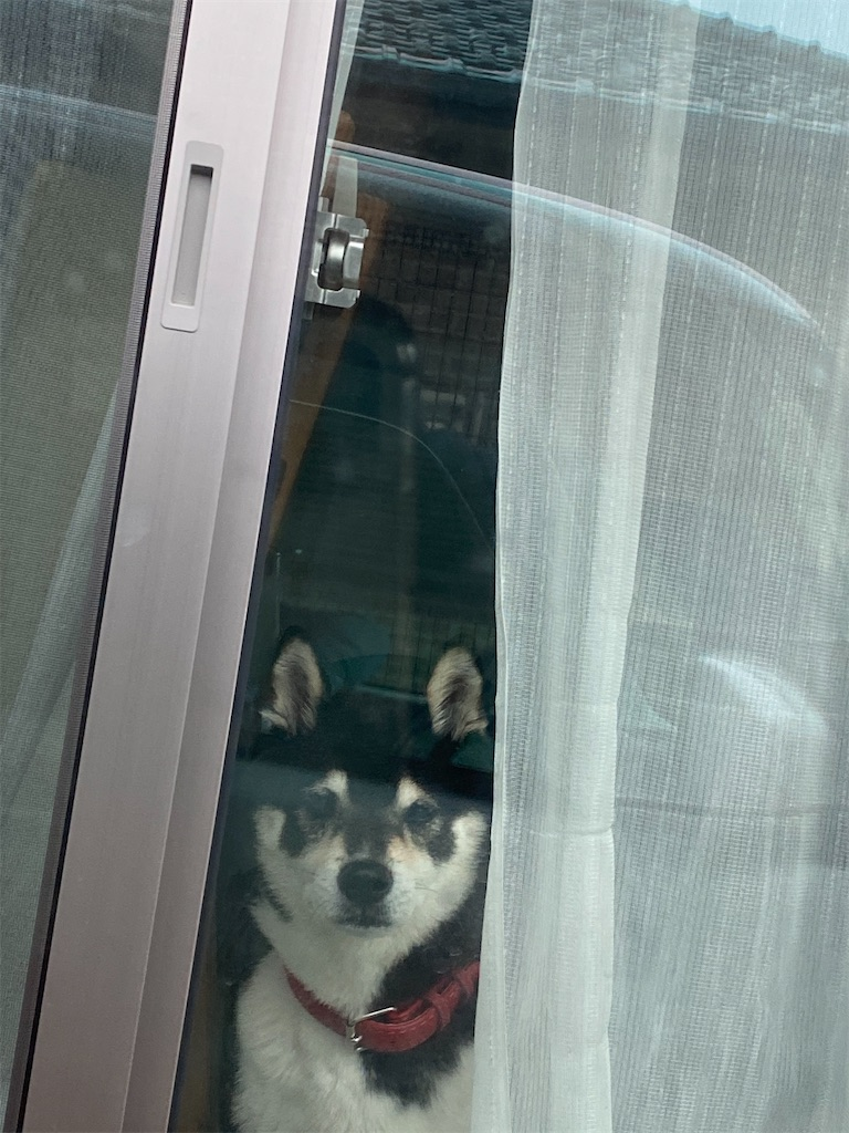 窓際からカメラ目線の黒柴犬