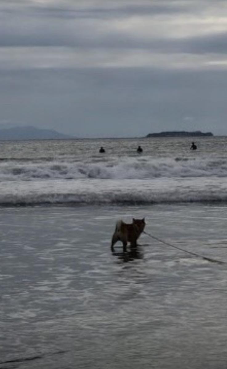 海の浅瀬で歩いている赤柴犬