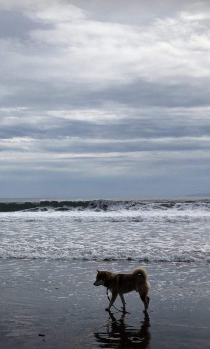 波が来ていない海の浅瀬で歩いている赤柴犬