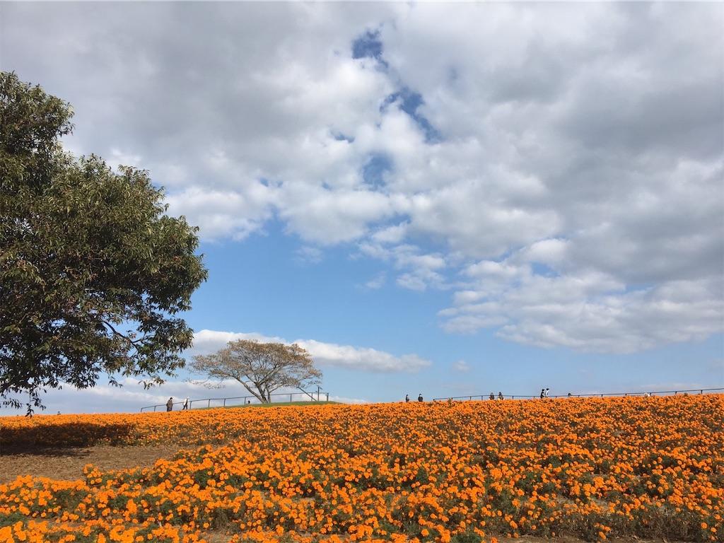 マリーゴールドの花が満開