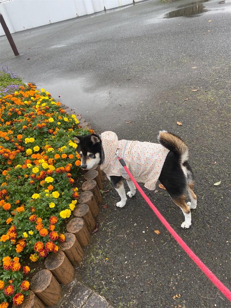 お花畑でカメラ目線の黒柴犬