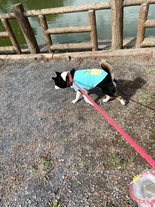 池沿いを歩く黒柴犬