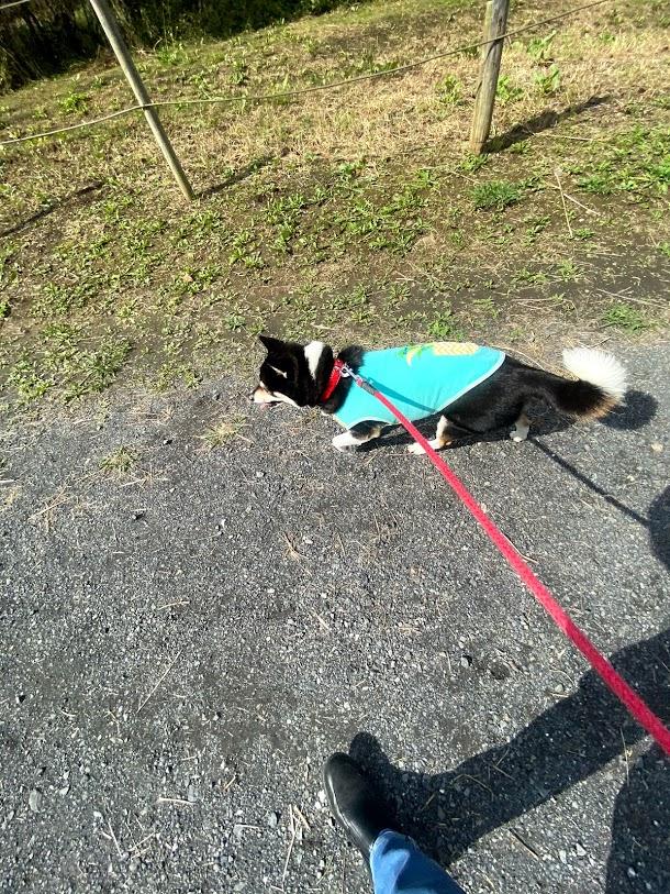 土手沿いを歩く黒柴犬