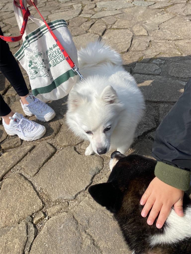 スピッツと黒柴犬がお互いに見合っています。