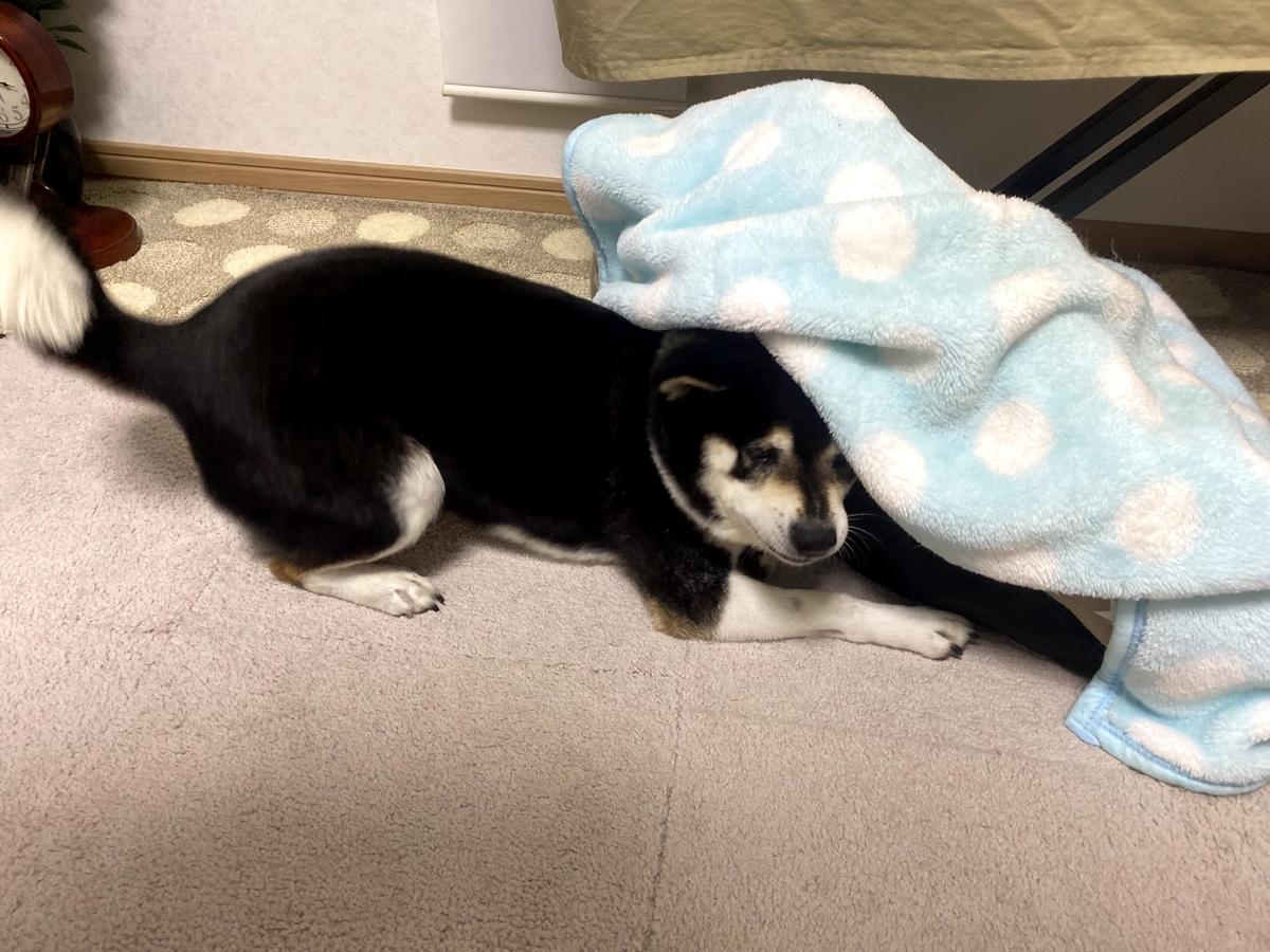 毛布に頭を突っ込んでいる黒柴犬