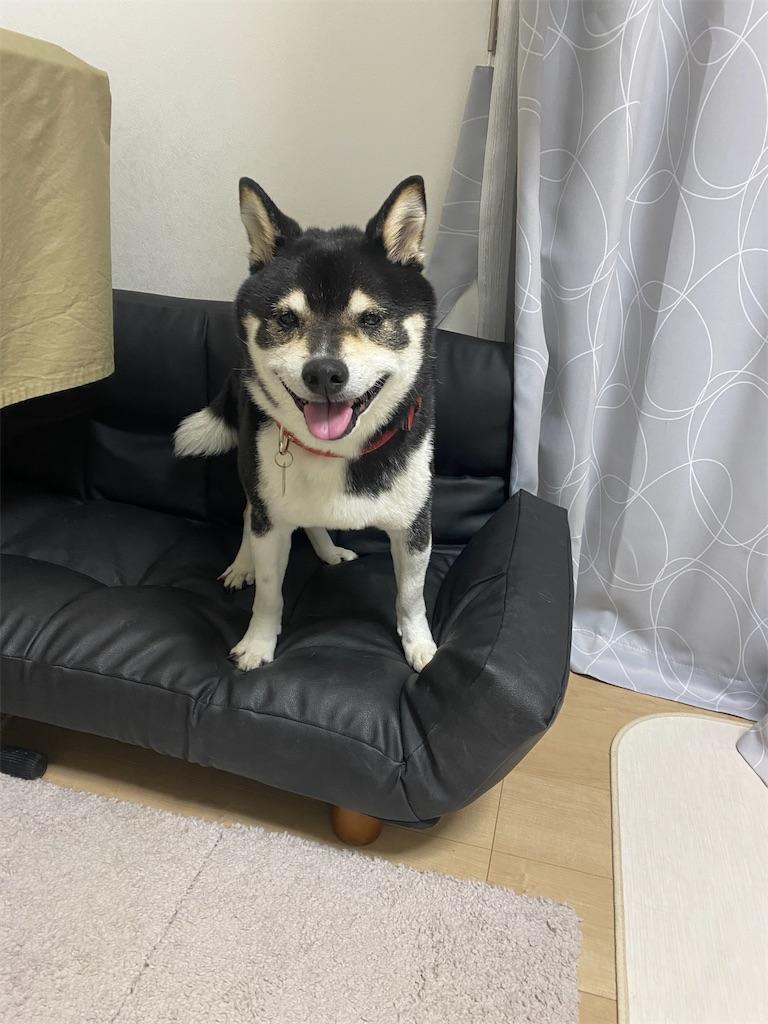 ソファの上でこっちを見ている舌を出している黒柴犬