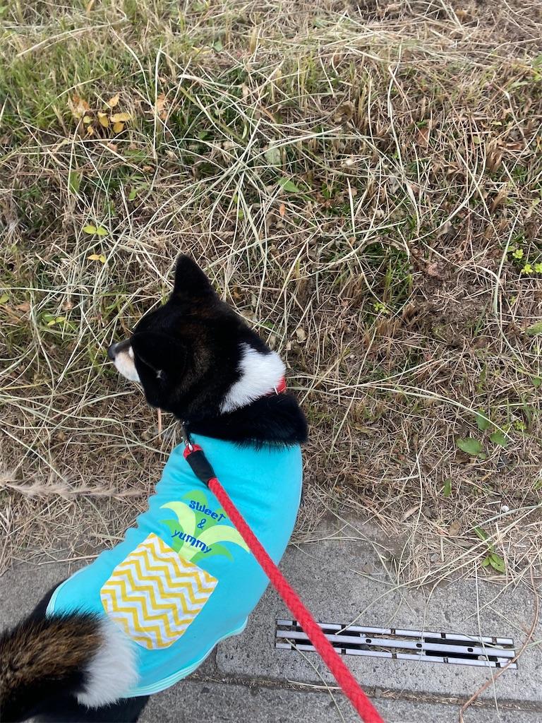 路肩で頭を左に向けている黒柴犬