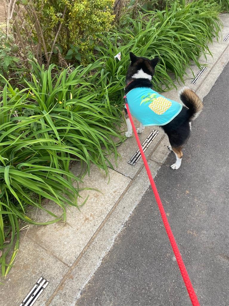 路肩で頭を右に向けている黒柴犬
