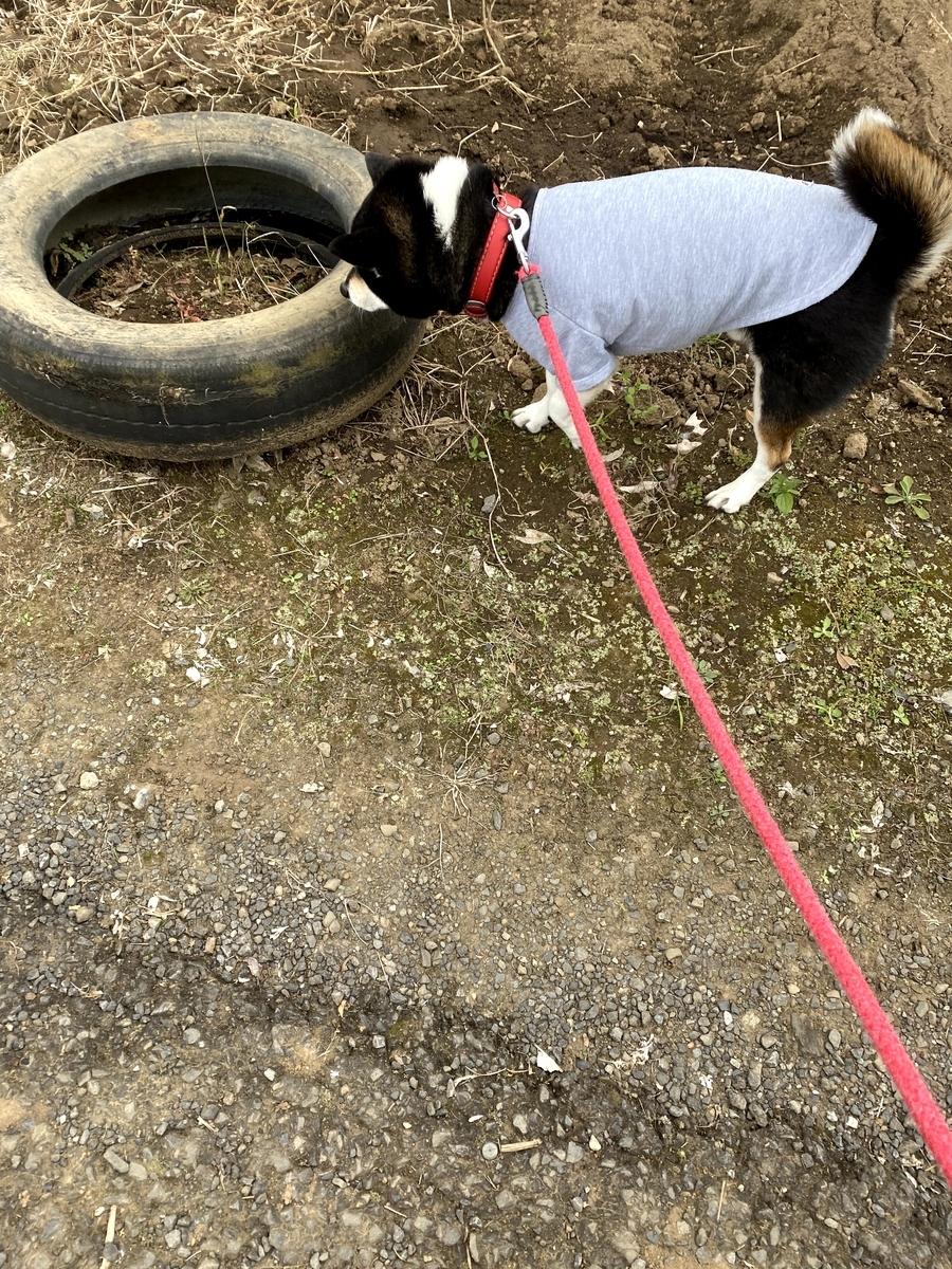 タイヤの臭いを嗅いでいる黒柴犬