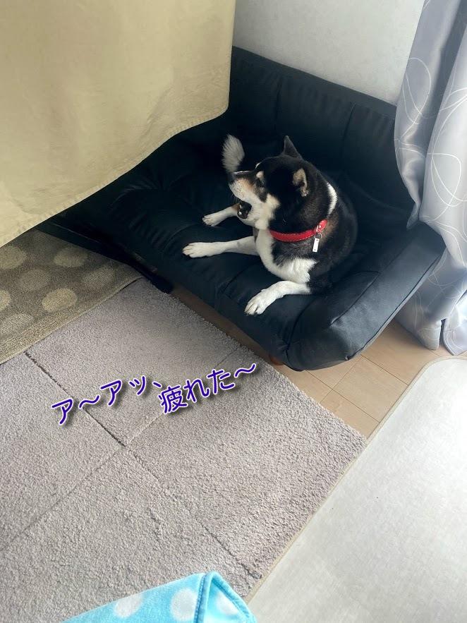 ソファの上で欠伸をしている黒柴犬