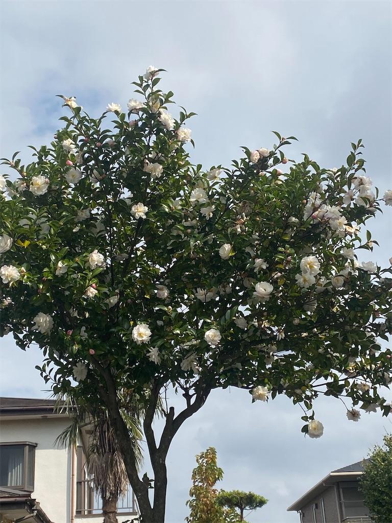 山茶花の木