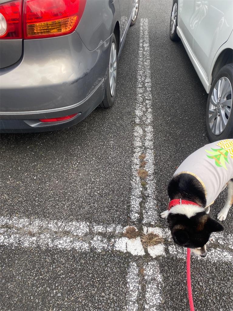 路面の臭いを嗅いでいる黒柴犬