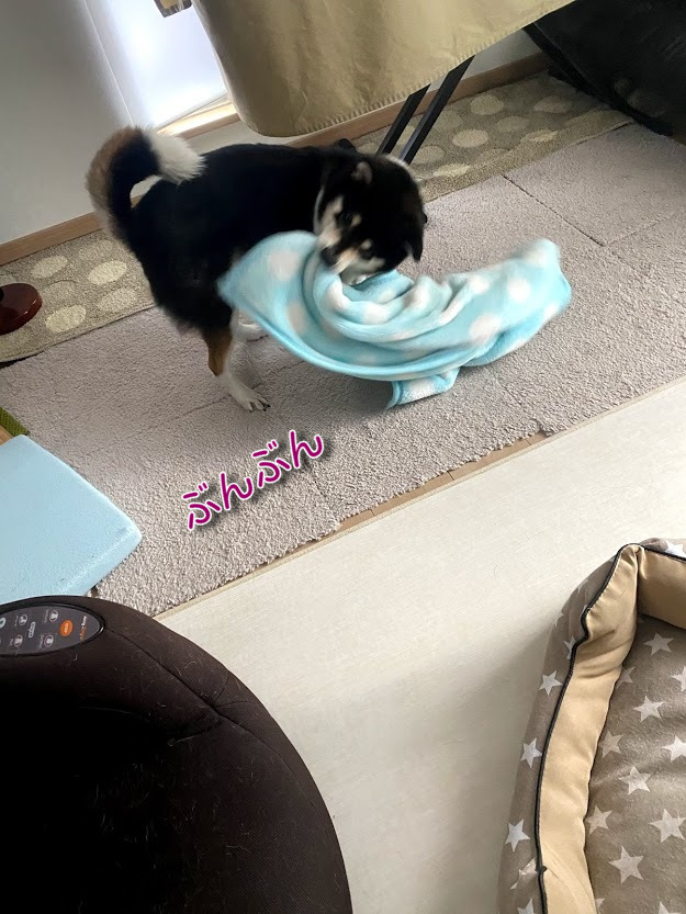 毛布を噛んで振り回している黒柴犬