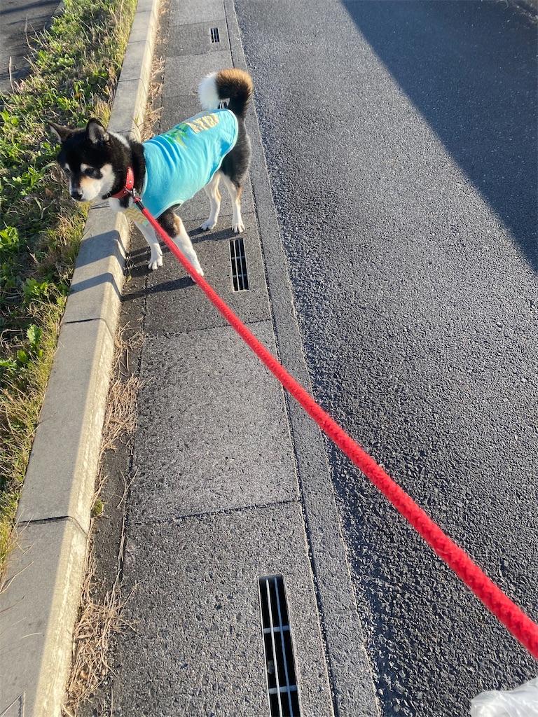 路肩で立っている黒柴犬