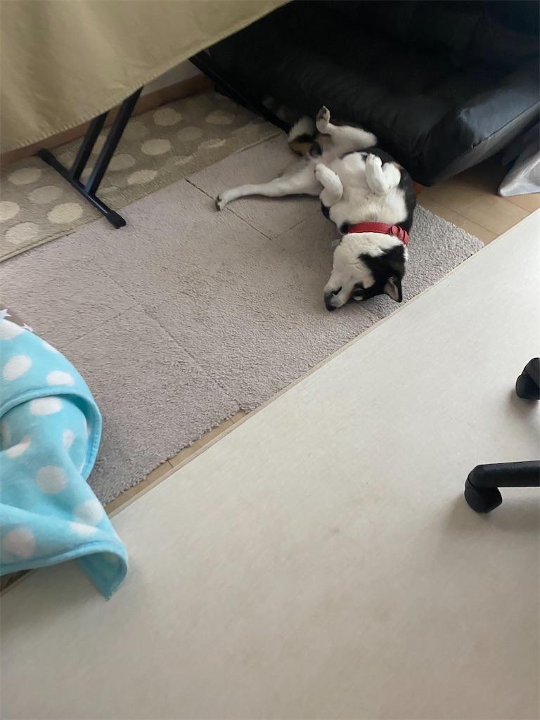 床でゴロゴロクネクネしている黒柴犬