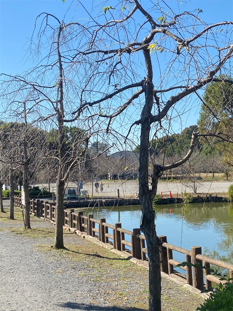 池の手前に冬枯れしたしだれ桜が立っている