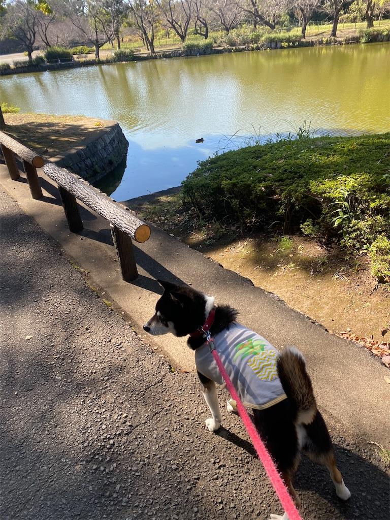 池の脇を歩いている黒柴犬